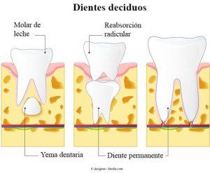 Situación de los dientes permanentes debajo de los dientes de leche.